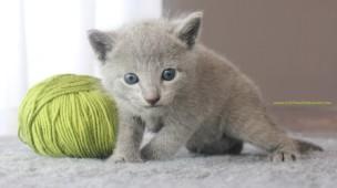 2017.07.30-AM russian blue cat kitten gato azul ruso gatito 02