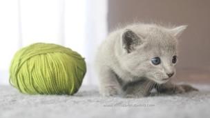 2017.07.30-AM russian blue cat kitten gato azul ruso gatito 03