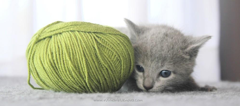 2017.07.30-AM russian blue cat kitten gato azul ruso gatito 04