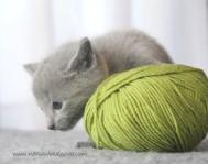 2017.07.30-AM russian blue cat kitten gato azul ruso gatito 05
