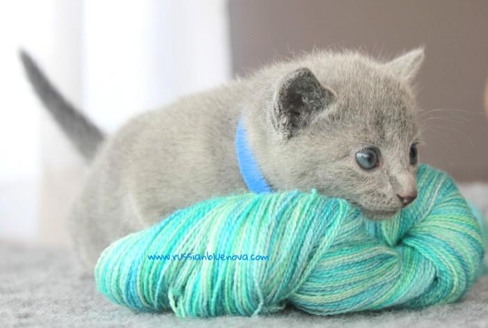 2017.07.30-AZ russian blue cat kitten gato azul ruso gatito 01