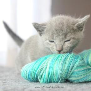 2017.07.30-AZ russian blue cat kitten gato azul ruso gatito 02
