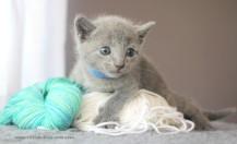2017.07.30-AZ russian blue cat kitten gato azul ruso gatito 03