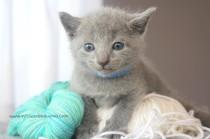 2017.07.30-AZ russian blue cat kitten gato azul ruso gatito 04