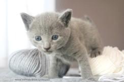 2017.07.30-BL russian blue cat kitten gato azul ruso gatito 01