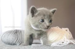 2017.07.30-BL russian blue cat kitten gato azul ruso gatito 02