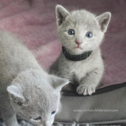 2017.07.30-NG russian blue cat kitten gato azul ruso gatito 01
