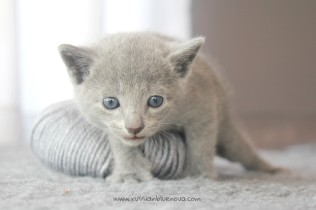 2017.07.30-NG russian blue cat kitten gato azul ruso gatito 03