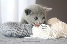 2017.07.30-NG russian blue cat kitten gato azul ruso gatito 04