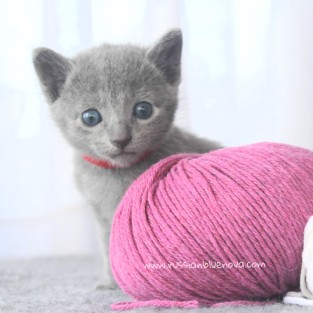 2017.07.30-RJ russianblue kittens azulruso gatito 01