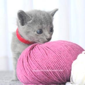 2017.07.30-RJ russianblue kittens azulruso gatito 02