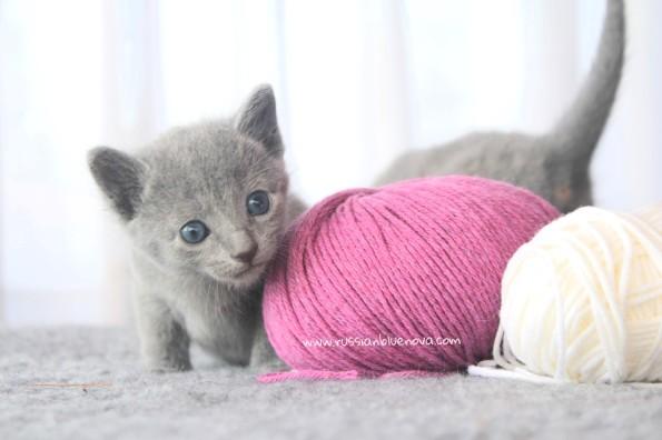 2017.07.30-RJ russianblue kittens azulruso gatito 03