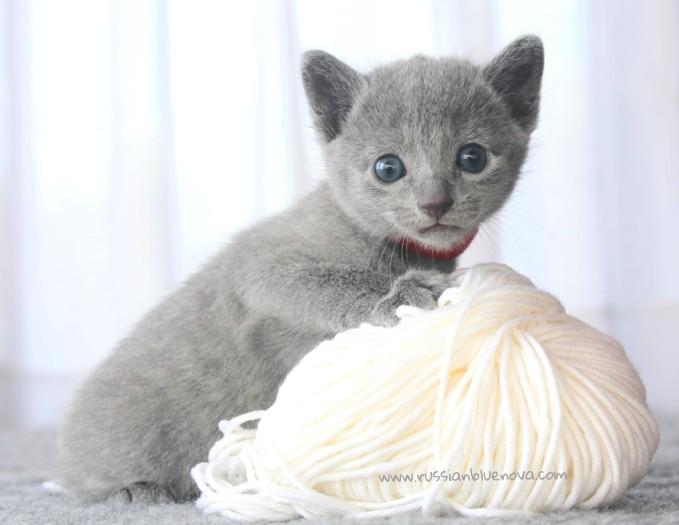 2017.07.30-RJ russianblue kittens azulruso gatito 04