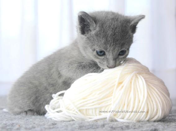 2017.07.30-RJ russianblue kittens azulruso gatito 05