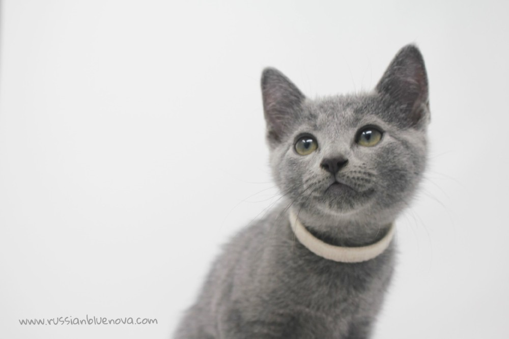 2017.09.09-russian blue cat comprar gato azul ruso barcelona 21 blanca