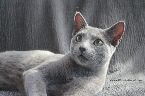 2017.10.08-russian blue cat comprar gato azul ruso barcelona 19 grimoire