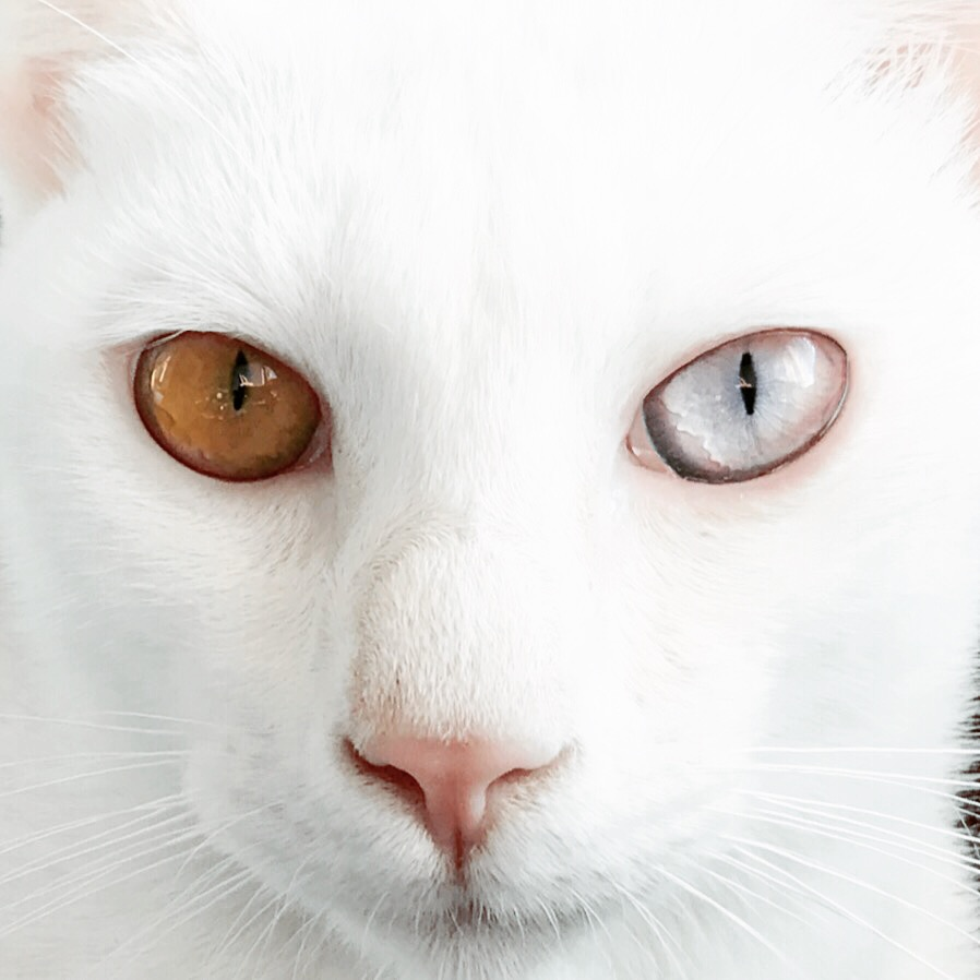 Gato blanco Barcelona white cat Khao Manee - 01