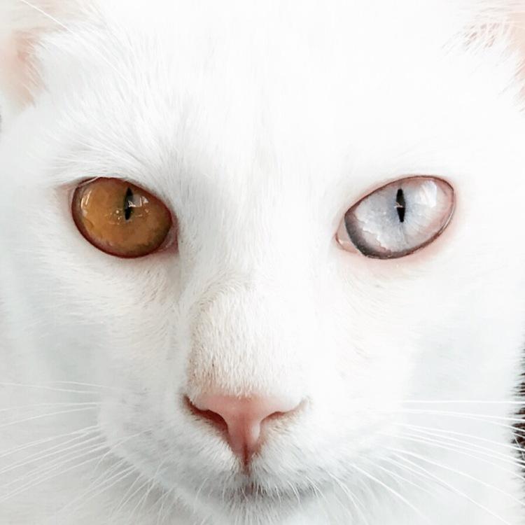 Gato blanco Barcelona white cat Khao Manee - 01