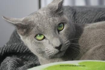 2017.11.18-comprar gato azul ruso barcelona russian blue cat barcelona azul ruso 11