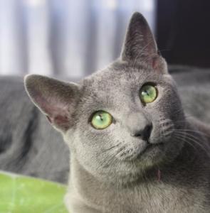 2017.11.18-comprar gato azul ruso barcelona russian blue cat barcelona azul ruso 15