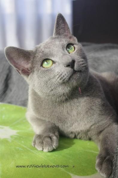 2017.11.18-comprar gato azul ruso barcelona russian blue cat barcelona azul ruso 16