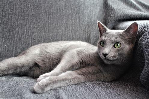 comprar gato azul ruso barcelona russian blue cat kitten gato gris 01