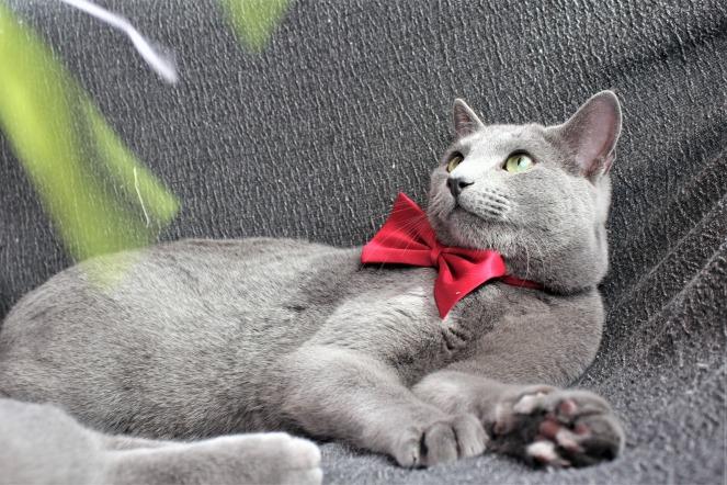 comprar gato azul ruso barcelona russian blue cat kitten gato gris 02