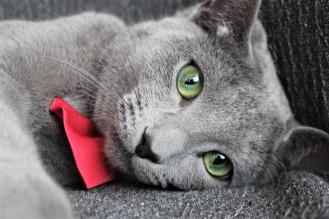 comprar gato azul ruso barcelona russian blue cat kitten gato gris 03