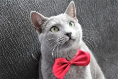 comprar gato azul ruso barcelona russian blue cat kitten gato gris 04
