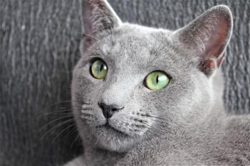 comprar gato azul ruso barcelona russian blue cat kitten gato gris 05