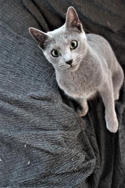 comprar gato azul ruso barcelona russian blue cat kitten gato gris 07