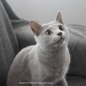 2018.02.04-Russian blue cat barcelona gato azul ruso 01