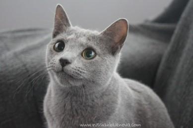 2018.02.04-Russian blue cat barcelona gato azul ruso 02