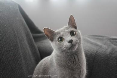 2018.02.04-Russian blue cat barcelona gato azul ruso 03