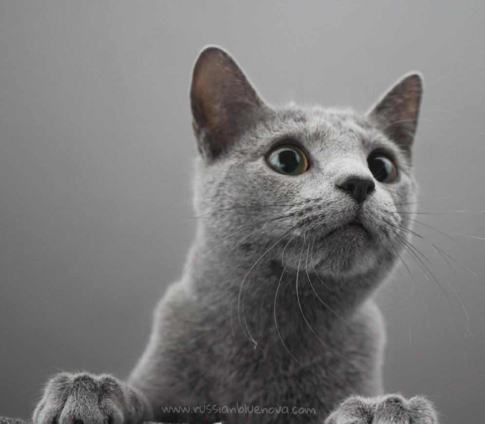 2018.02.04-Russian blue cat barcelona gato azul ruso 04