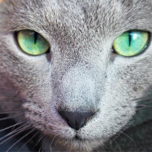Gato azul ruso barcelona russian blue cat 04