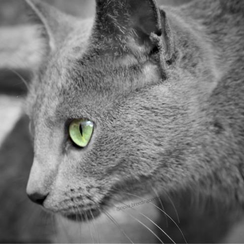 Gato azul ruso barcelona russian blue cat 05