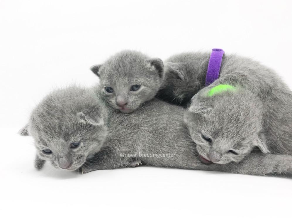 Gato azul ruso barcelona russian blue cat 06