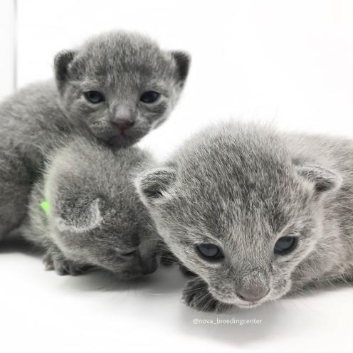 Gato azul ruso barcelona russian blue cat 08