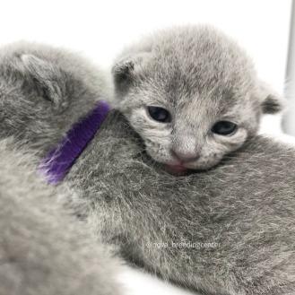Gato azul ruso barcelona russian blue cat 09