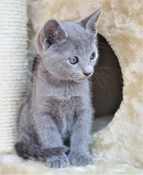 2018.05.19-Gato azul ruso barcelona russian blue kitten - Candy 06