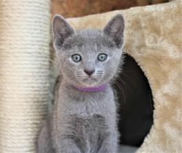 2018.05.19-Gato azul ruso barcelona russian blue kitten - Candy 07