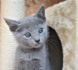 2018.05.19-Gato azul ruso barcelona russian blue kitten - Candy 08