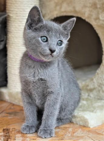 2018.05.19-Gato azul ruso barcelona russian blue kitten - Candy 12