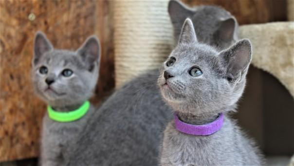 2018.05.19-Gato azul ruso barcelona russian blue kitten - Candy 13