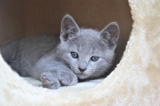 2018.05.19-Gato azul ruso barcelona russian blue kitten - Charlie 05