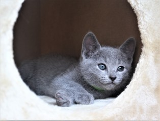 2018.05.19-Gato azul ruso barcelona russian blue kitten - Charlie 07