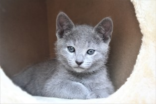 2018.05.19-Gato azul ruso barcelona russian blue kitten - Charlie 09