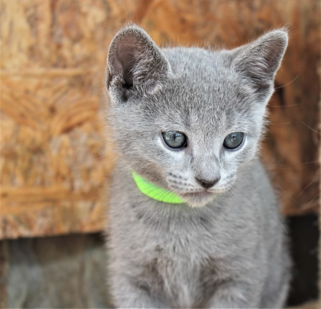 2018.05.19-Gato azul ruso barcelona russian blue kitten - Charlie 10
