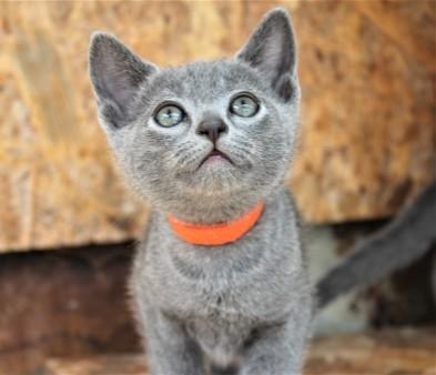 2018.05.19-Gato azul ruso barcelona russian blue kitten - Clooney 04